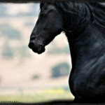 Friesian horse Jacqueline Colleen